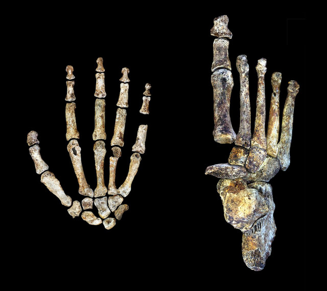 Los nuevos estudios se centran exclusivamente en las manos y los pies del Homo naledi. Peter Schmid y William Harcourt Smith / Wits University