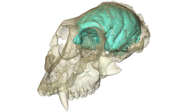 Reconstrucción del cerebro de Victoriapithecus macinnesi / Fred Spoor (Max Planck Institute for Evolutionary Anthropology)