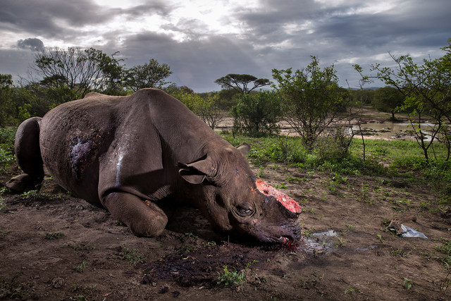 El rinoceronte mutilado, imagen ganadora del Wildlife Photographer 2017. / © Brent Stirton / Wildlife Photographer of the Year 2017