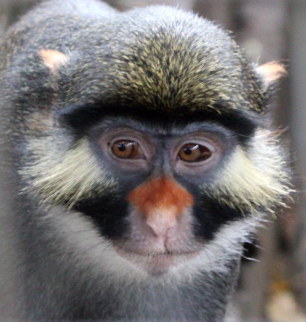 Cercopiteco de orejas rojas (Cercopithecus erythrotis). / William Allen y Nature Communications.