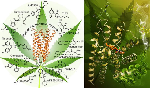 Modelo en 3D del receptor que coloca con la marihuana