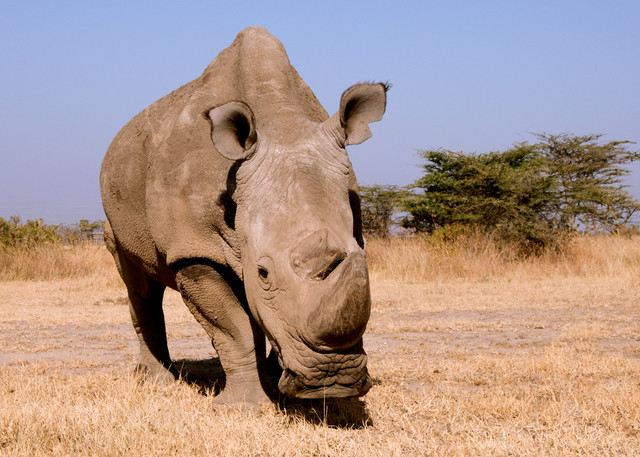 Sudan. / Helping Rhinos