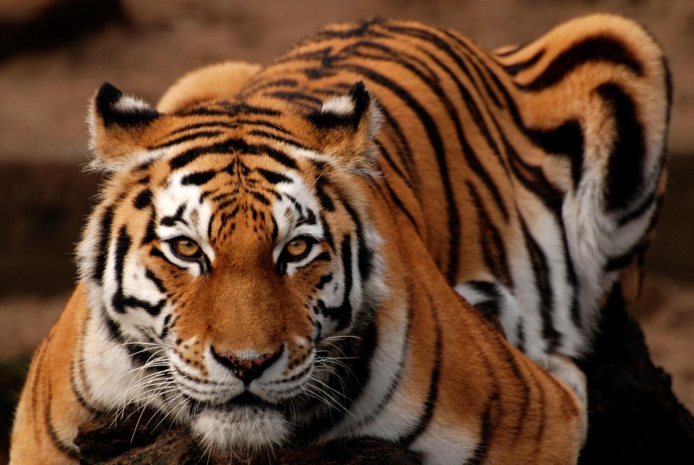 Secuencian el genoma de grandes felinos en peligro de extinción
