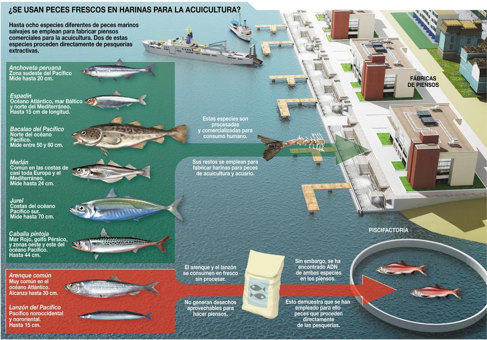 ¿Se usan peces frescos para harinas en acuicultura?