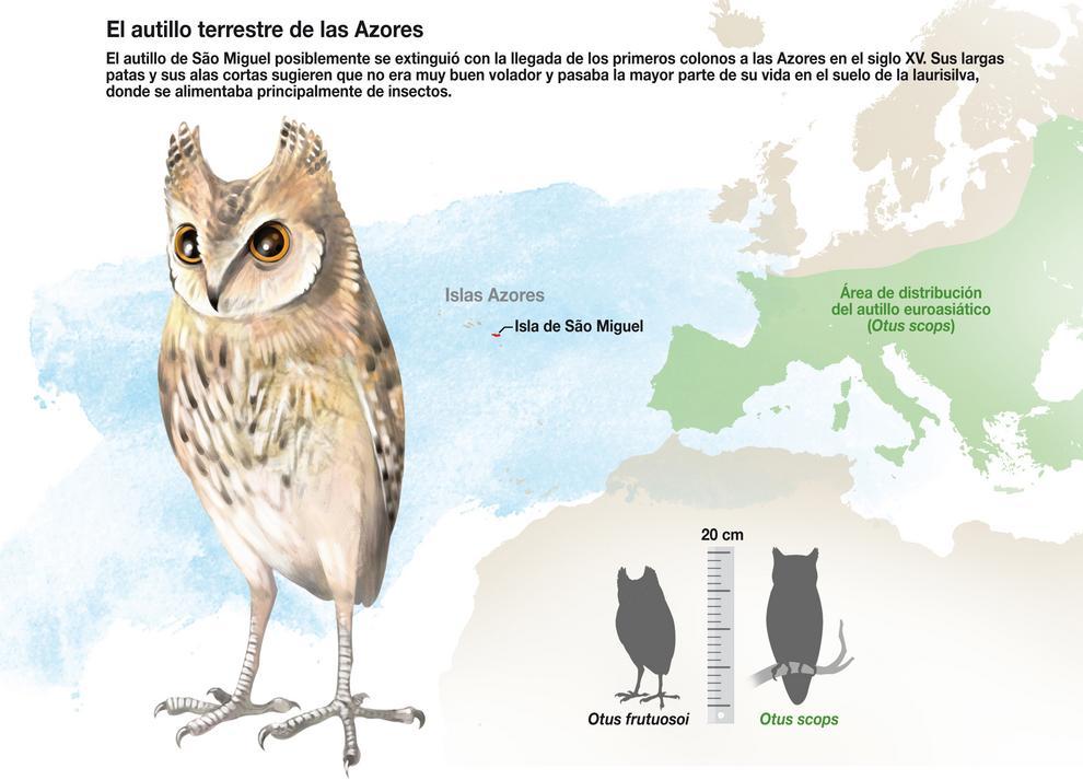 Aspecto yáreade distribución de Otus frutuosoi, comparado con Otus scops o autillo europeo. / J. A. Peñas