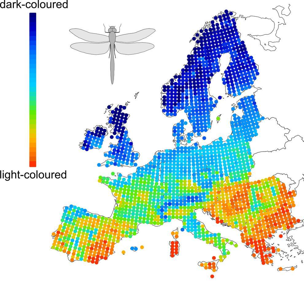 Este mapa muestra cómo la distribución geográfica de las libélulas depende de su color y la temperatura. El sur de Europa está dominado por especies de color claro mientras que en el norte predominan las variedades oscuras/ Zeuss et al