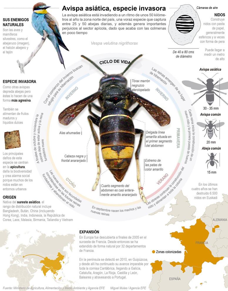 Infografía descriptiva de la avispa asiática. / Efe