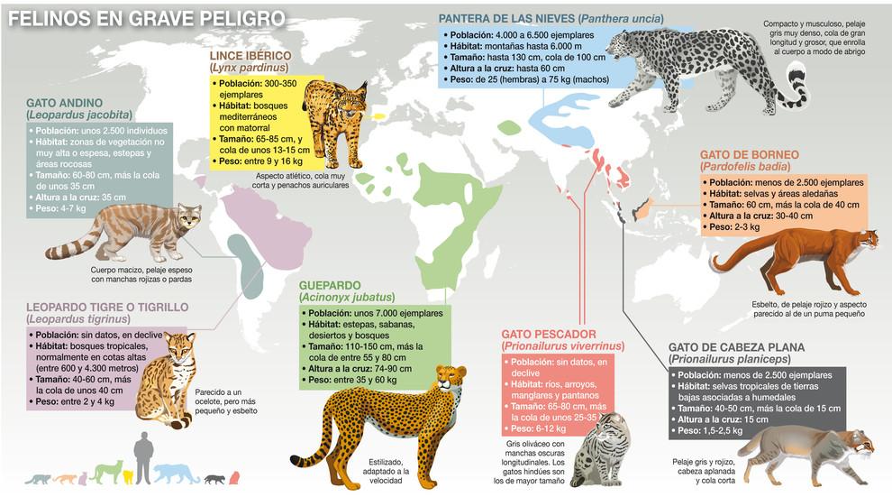 Distribución de algunos de los felinos más amenazados del mundo y de los que menos investigación, información y medidas de conservación hay, salvo en el caso del lince ibérico. / José Antonio Peñas-Sinc