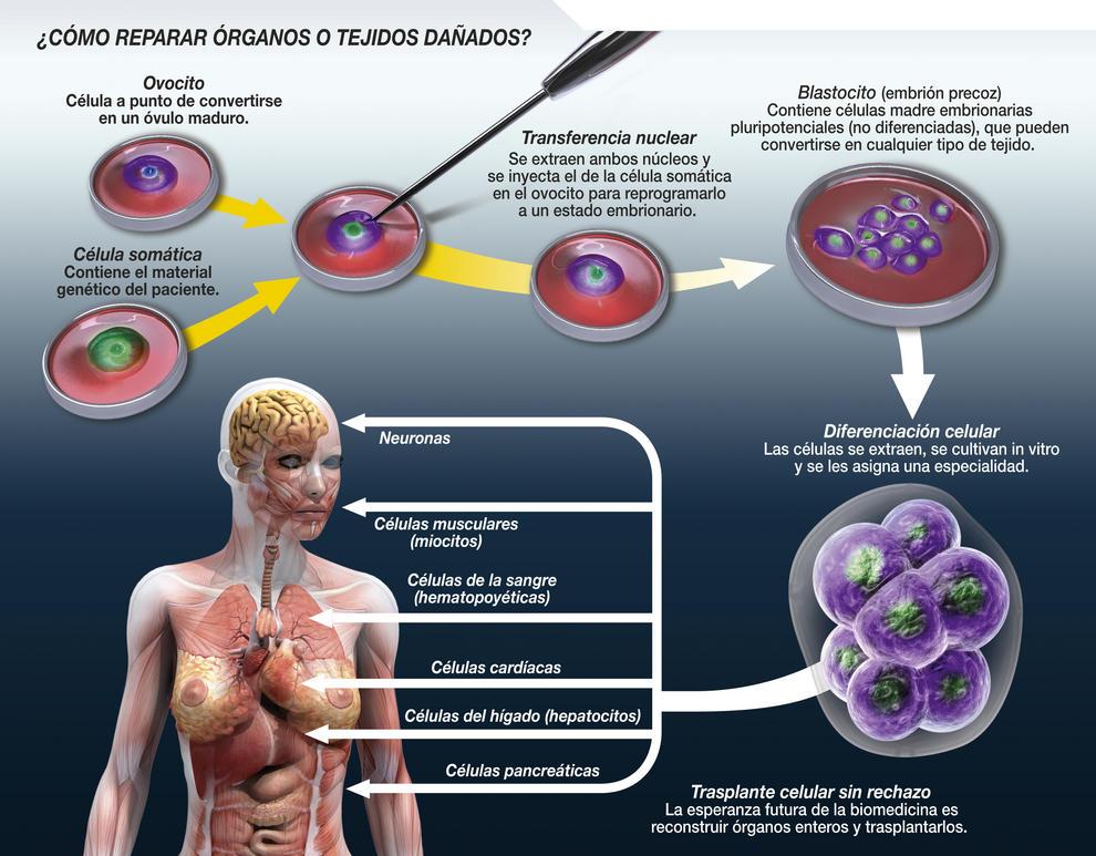 Descripción del proceso de clonación terapéutica. Imagen: SINC / José Antonio Peñas