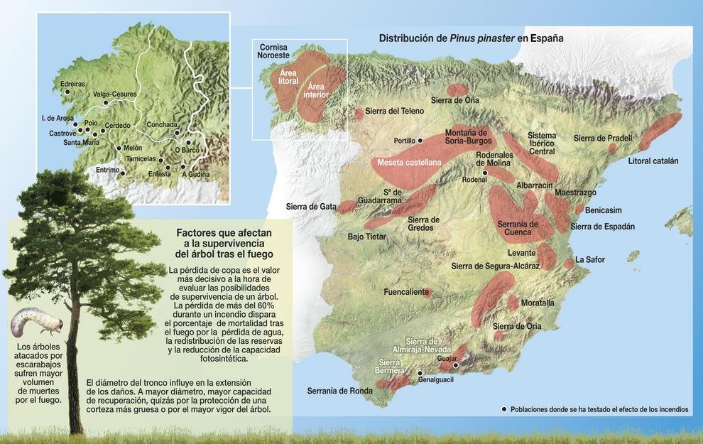 El estudio estima la probabilidad de supervivencia tras las llamas del Pinus pinaster y ayuda apropietarios y comunidades de montes a tomar decisiones después de un incendio. Imagen: Manuel M. Ramos.