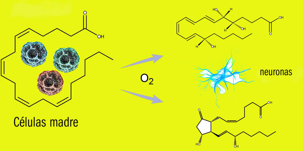 """Las células madre (las """"pelotitas"""" de colores de la izquierda del gráfico) se caracterizan por tener muchos metabolitos con estructuras químicamente insaturadas. Mediante procesos oxidativos (el O2 del gráfico se refiere a oxigeno), estas estructuras insaturadas se transforman en otros metabolitos que promueven o facilitan el proceso de diferenciación hacia células adultas maduras (derecha del gráfico)."""