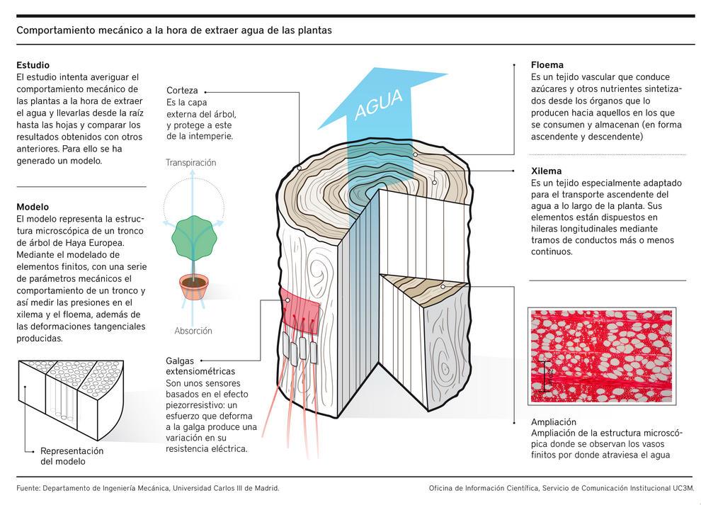 Científicos de la Universidad Carlos III de Madrid (UC3M) analizan mediante modelado 3D los mecanismos que utilizan los árboles para el transporte de agua en su interior.