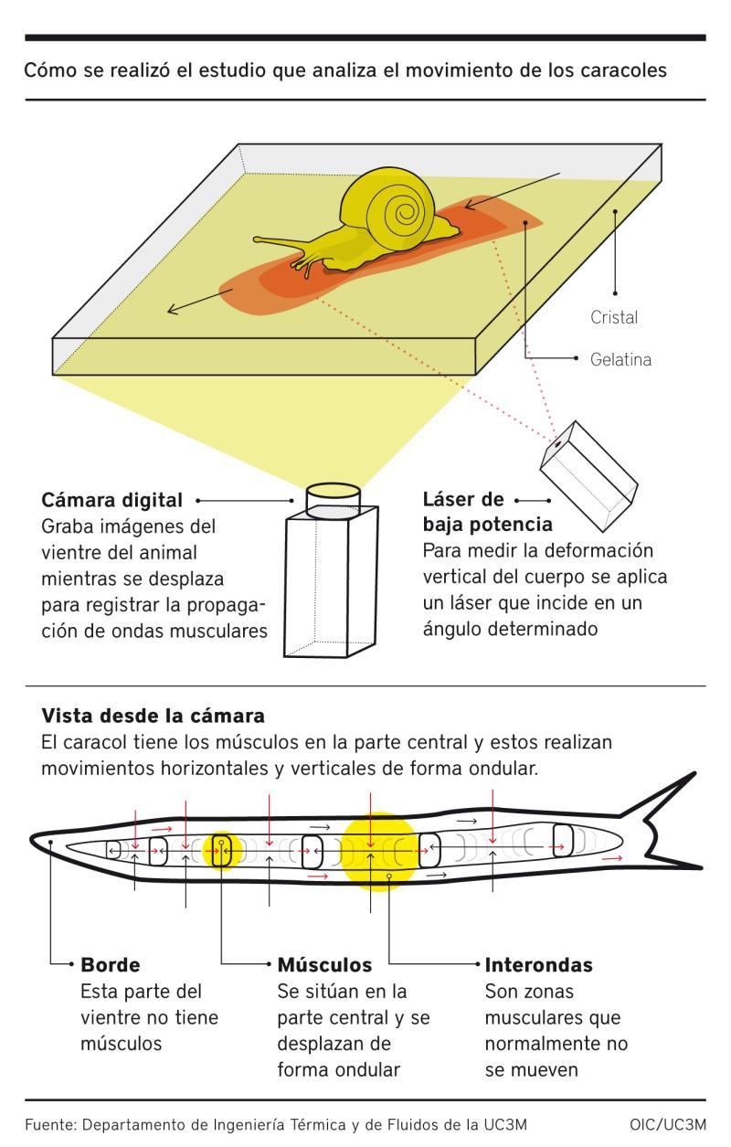 Infografía de cómo se realizó el estudio del movimiento de los caracoles