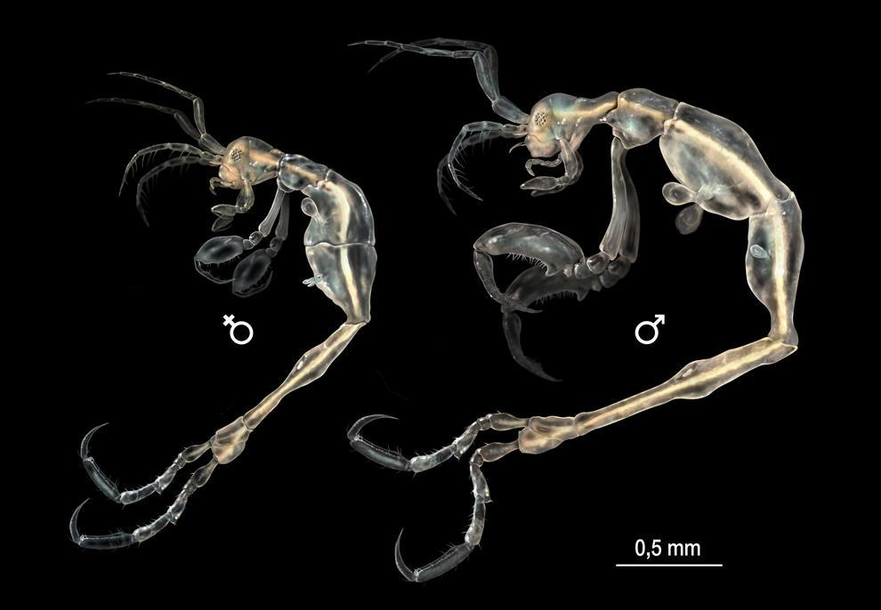 Ilustración de la hembra y el macho de Liropus minusculus./ SINC - José Antonio Peñas.