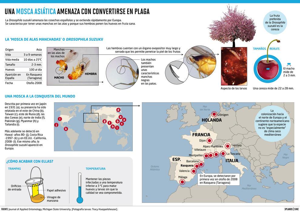 Drosophila suzukii, de origen asiático, recorre desde hace poco la geografía española.