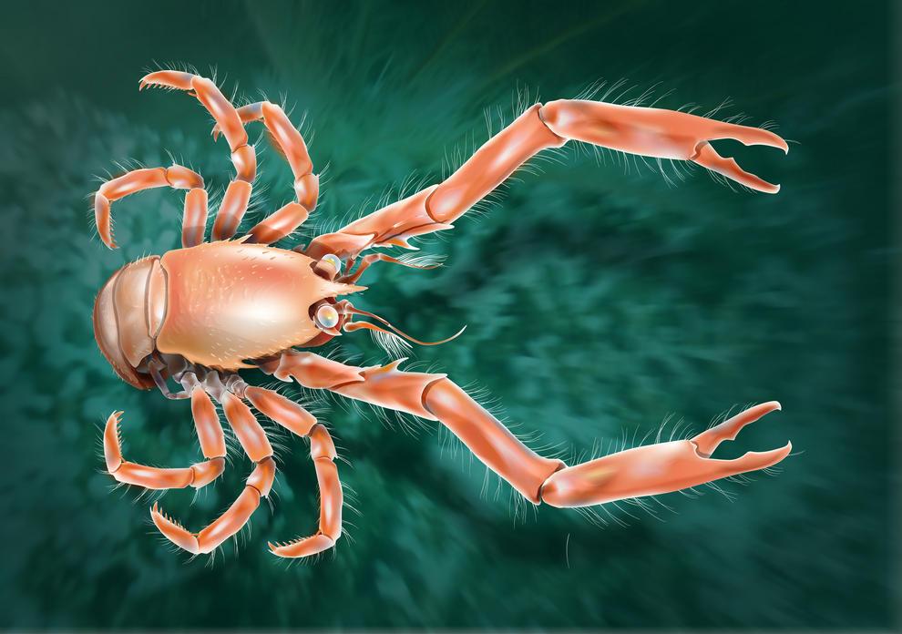 Ilustración del Uroptychus cartesi, hallado a más de 1.400 metros de profundidad frente a las costas de Galicia. Imagen: SINC
