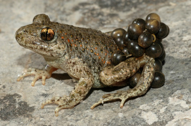 <p>The calls of the midwife toad and other amphibians have served to test the sound classifier. / Jaime Bosch (MNCN-CSIC)&nbsp;</p>