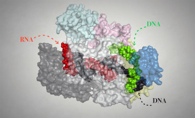 <p>Representation of the Cpf1 protein in complex with its target RNA and target DNA. The determination of its structure at high resolution has allowed to reveal the modus operandi of this genetic engineering tool. / University of Copenhagen</p>