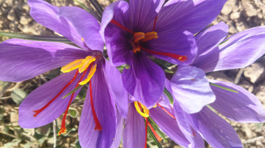<p>The crimson stigma of the saffron flower is one of the oldest and most expensive spices in the world. / Consejo Regulador DOP Azafrán de La Mancha</p>