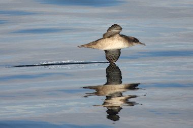 <p>The Balearic shearwater is the most threatened sea bird in Europe. / Beneharo Rodríguez</p>