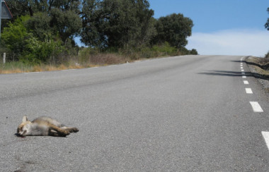 <p>Unlike other carnivores that are attracted to road points with a greater abundance of rabbits, foxes feel a weakness for the asphalt where they find all kinds of carrion or trash, regardless of the number of prey. / Aimara Planillo -TEG UAM</p>