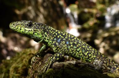 https://www.agenciasinc.es/var/ezwebin_site/storage/images/noticias/a-los-lagartos-de-climas-frios-no-les-favorece-el-calentamiento-global/6554424-5-esl-MX/A-los-lagartos-de-climas-frios-no-les-favorece-el-calentamiento-global_image_380.jpg