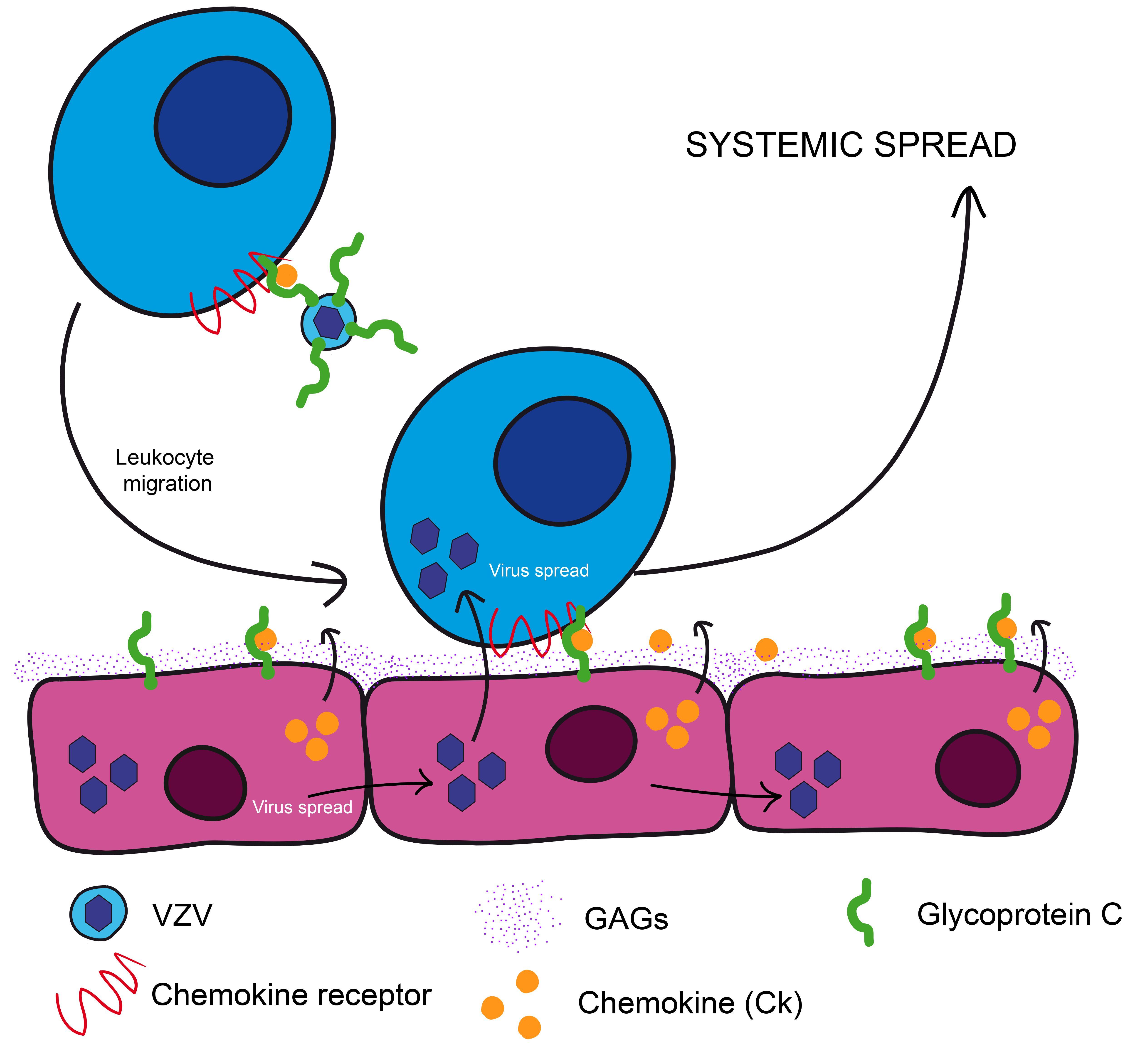Así se propaga el virus de la varicela por el cuerpo / Noticias / SINC