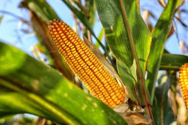 <p>La producción de maíz genera gran cantidad de residuos que se podrían transformar en nanocristales de celulosa. / UCO</p>