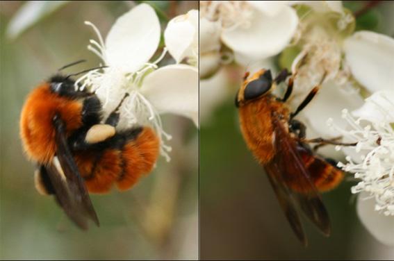 Describen en Patagonia unas moscas de las flores que imitan a abejorros