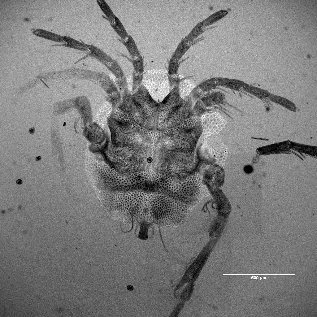 Describen una nueva especie de ácaro acuático hallada en el buche de un pato