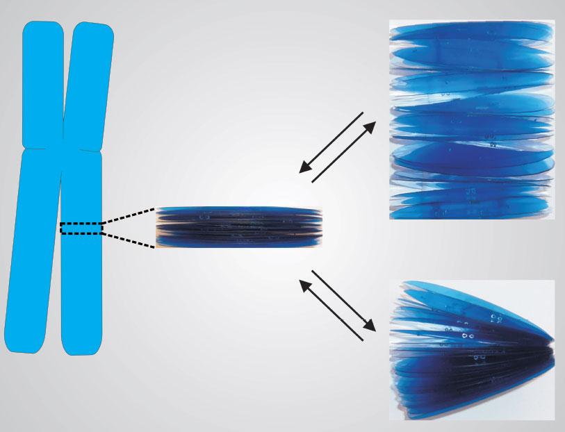 Descubren el porqué de la forma de los cromosomas