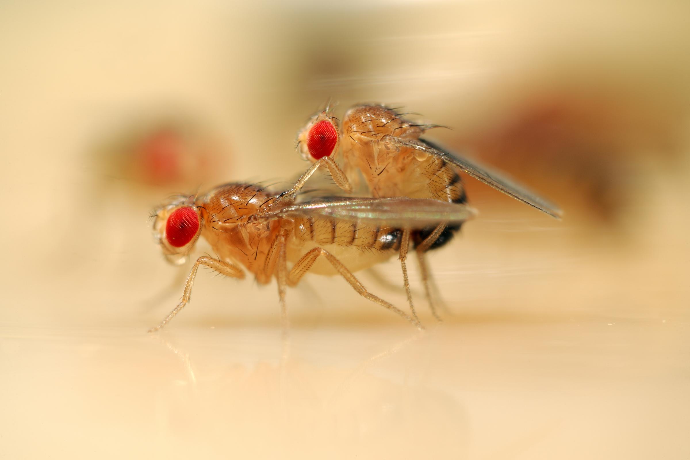 Desvelados los circuitos neuronales que utilizan las moscas hembras para decidir aparearse