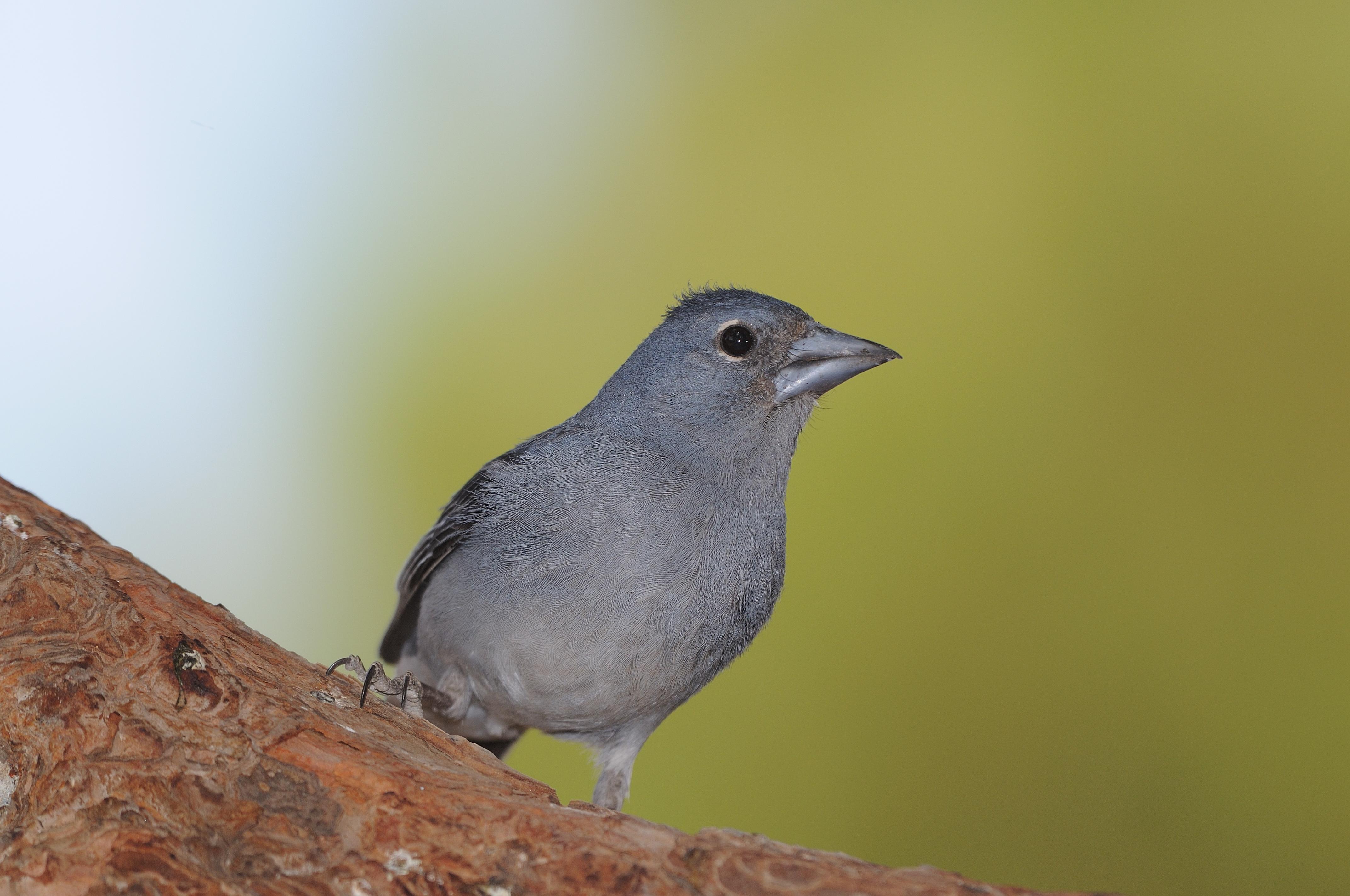 Detienen en Tenerife a una persona con 21 ejemplares de un ave única de Canarias