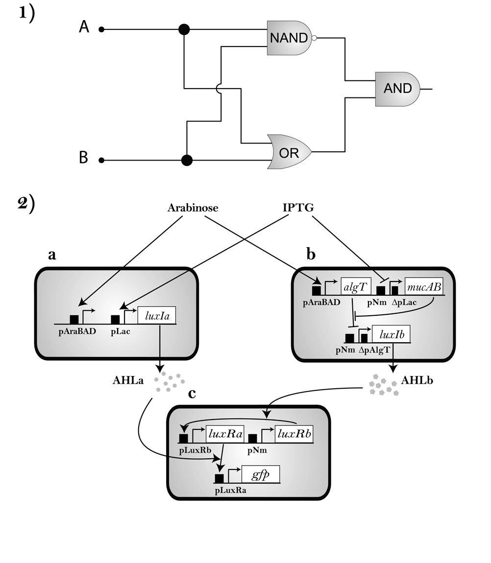 Circuito Xor Equivalente : Diseño de circuitos vivos utilizando bacterias con funciones