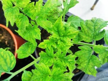 <p>Para realizar el estudio los investigadores han utilizado plantas de tomate infectadas con la bacteria <em>PsPto</em>. / UPM</p>