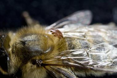 "<p/>Abeja parasitada por el ácaro ectoparásito <em>Varroa destructor /</em>Rothamsted Research Ltd."" /><span style="