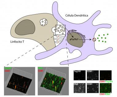 <p>La respuesta inmunitaria frente a los patógenos requiere de la interacción específica entre los linfocitos T y células presentadoras de antígeno, como las células dendríticas . / CNIC</p>