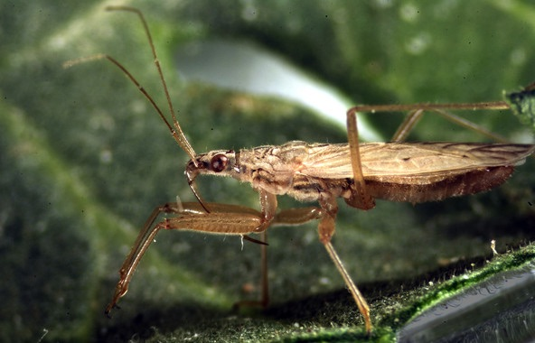 El canibalismo en insectos mejora su capacidad depredadora
