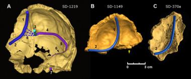 El cerebro neandertal era más asimétrico que el del \'Homo sapiens ...
