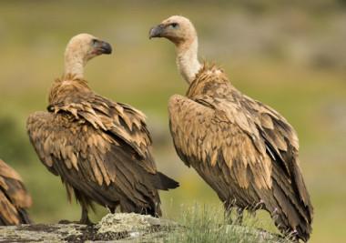 "<p/>Buitres leonados(<em>Gyps fulvus</em>). /SEO/BirdLife"" />ç<span style="