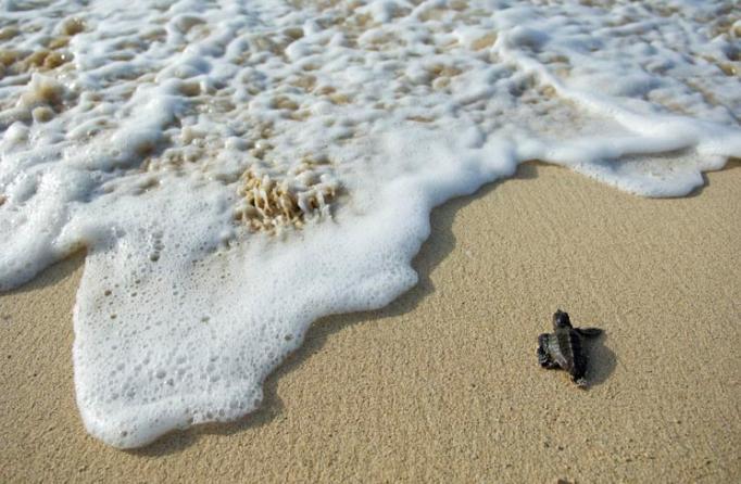 El estudio del ADN mitocondrial revela cómo llegó la tortuga boba al Mediterráneo