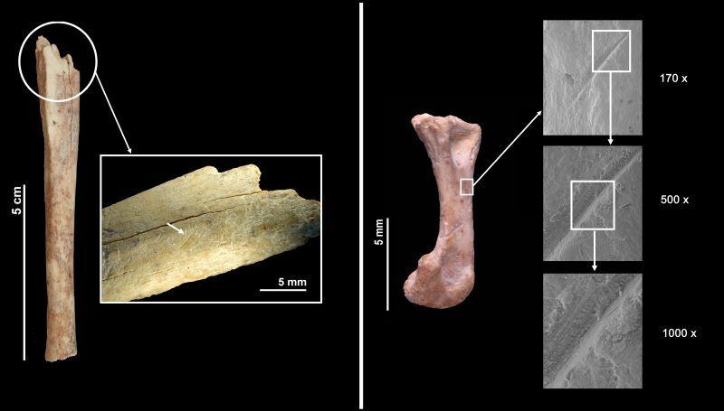 El gato salvaje formaba parte de la dieta neandertal