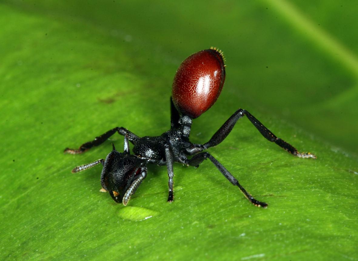 El origen del altruismo en las hormigas podría estar en la manipulación materna