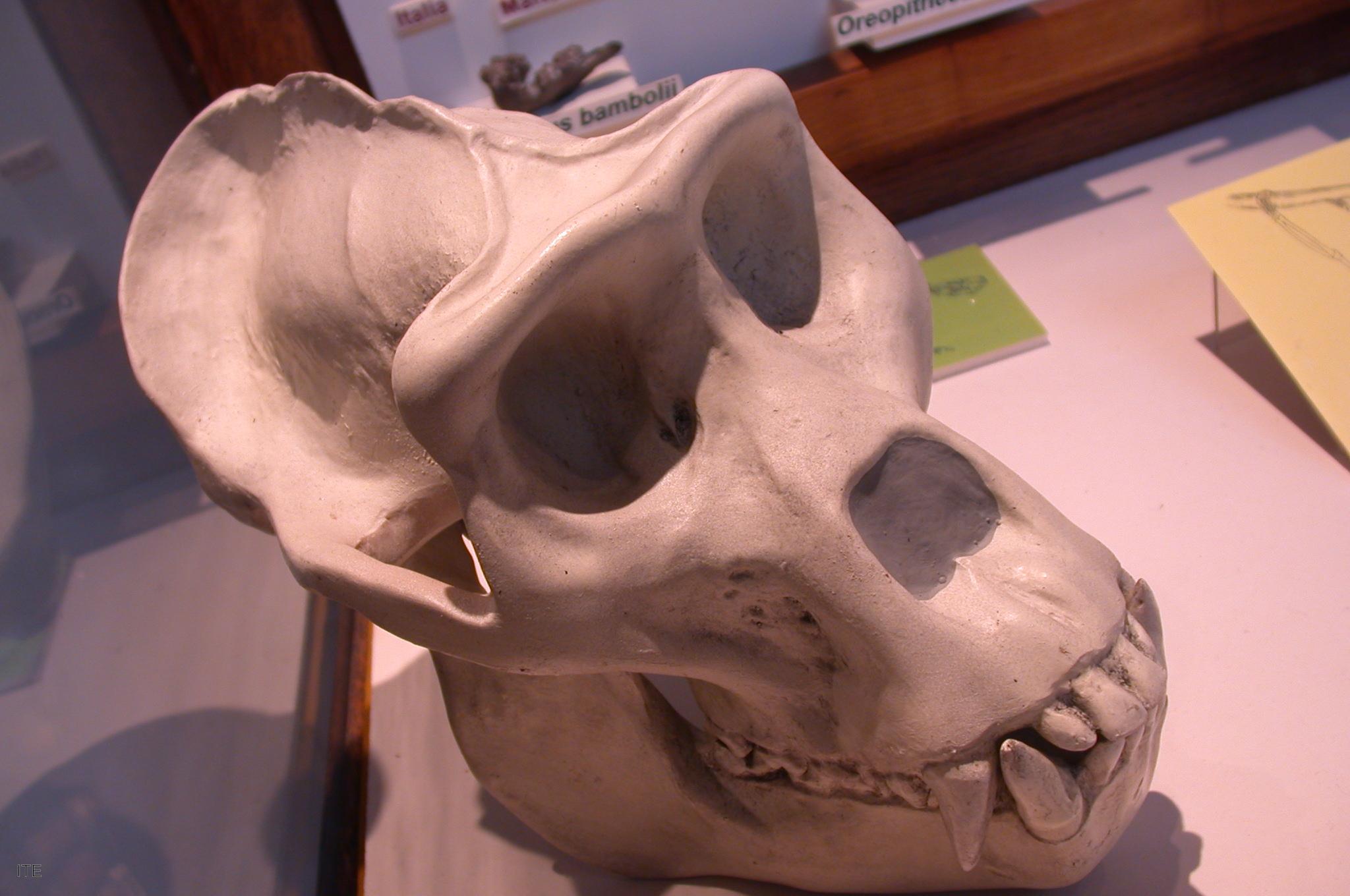 El primer atlas músculo-esquelético del gorila con imágenes se gesta ...