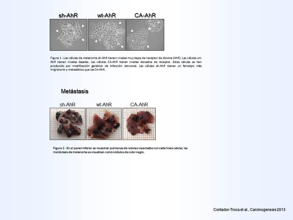 El receptor de dioxina posee efectos supresores en el desarrollo del ...