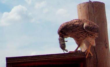 """<p/>Cernícalo con un topillo sobre una de lascajas nido instaladas por GREFA / CarlosCuellar (GREFA)"""" /><span style="""