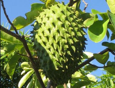 """<p>La guanábana es un fruto que pesa 2,9kg de media,de los cuales, el 75,6% corresponden a la pulpa. / <a href=""""https://es.wikipedia.org/wiki/Annona_muricata#/media/File:Soursop_(6992565351).jpg"""" target=""""_blank"""">Wikipedia</a></p>"""