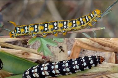 """<p/>Ejemplar de <em>Hyles euphorbiae</em> (arriba)y de <em>Brithys crini</em>. / UV"""" /><span style="""