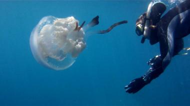 "<p/>La investigadora Karen Kienberger junto a una medusa<em>Rhizostoma luteum</em>. / Darius Enayati"" style="""" /><span style="