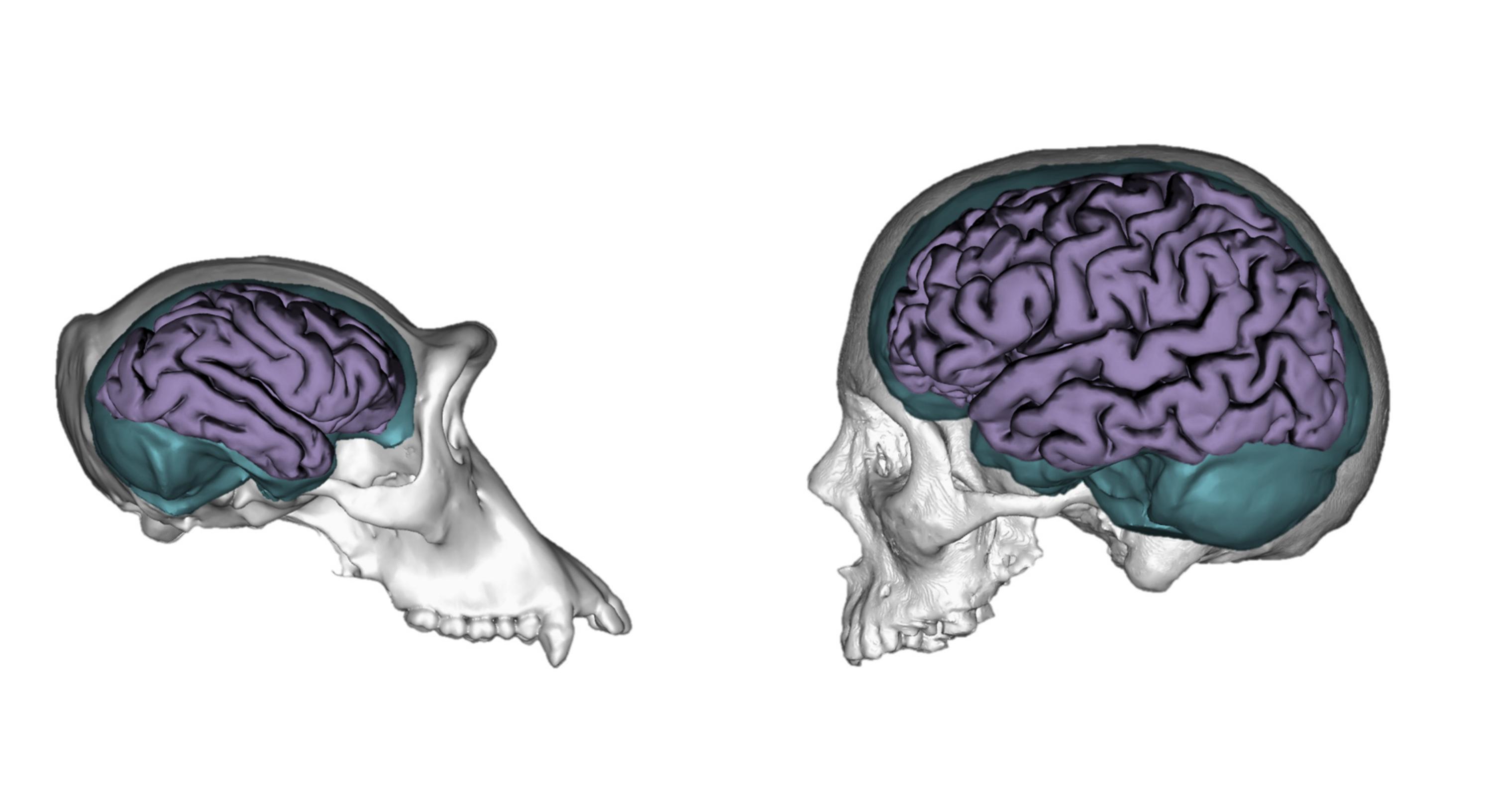 La evolución hizo al cerebro humano más moldeable que el del ...